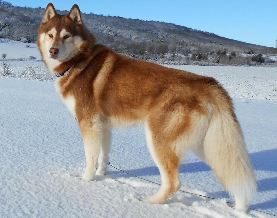 Image result for siberian husky