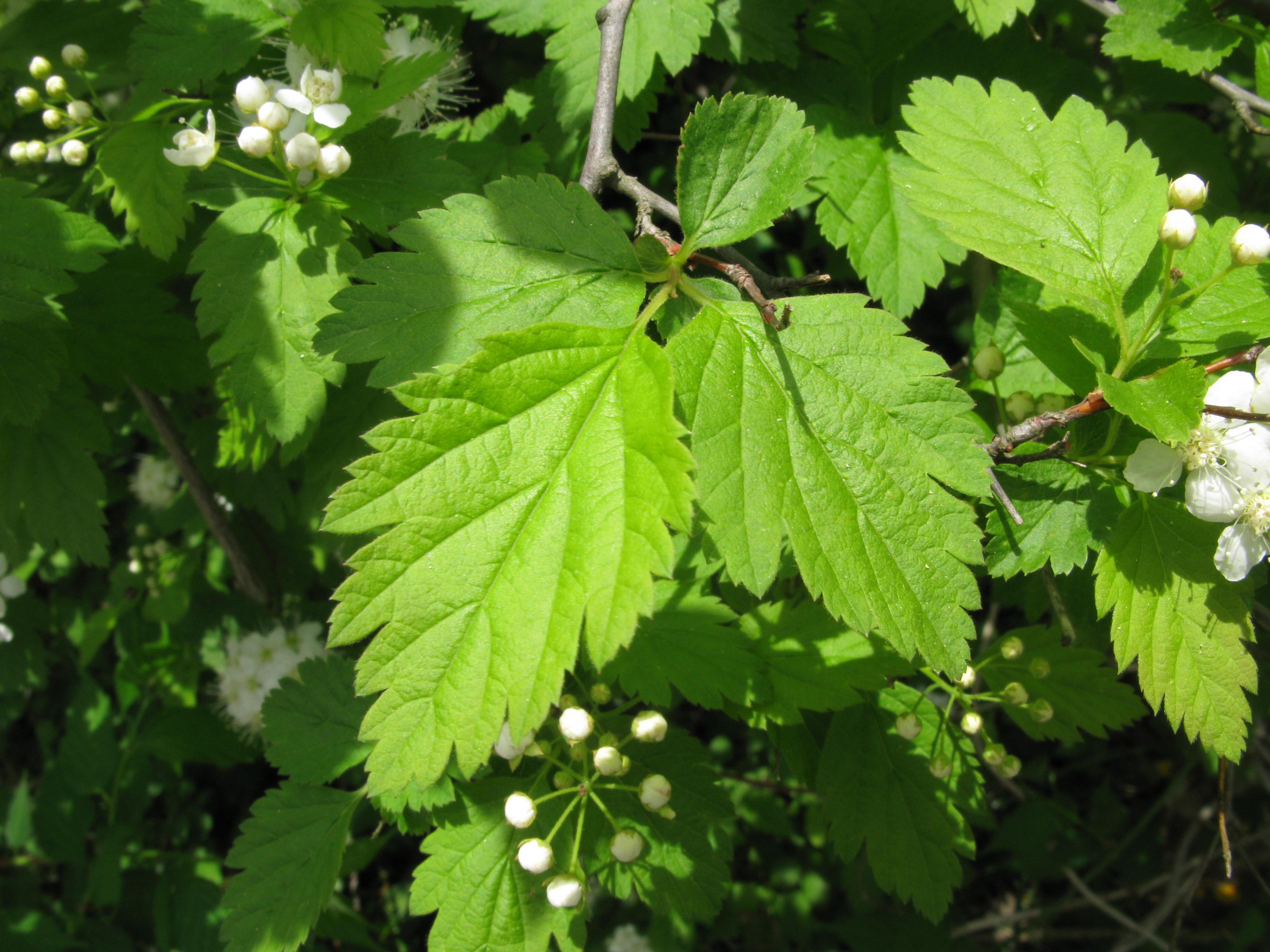 File:Spiraea chamaedryfolia var. pilosa 2 ...