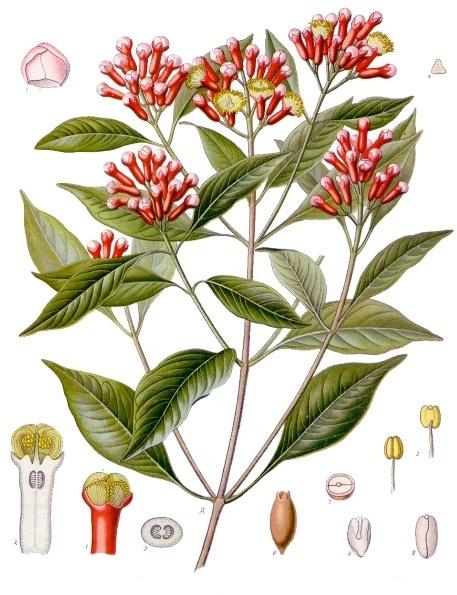planche botanique du giroflier