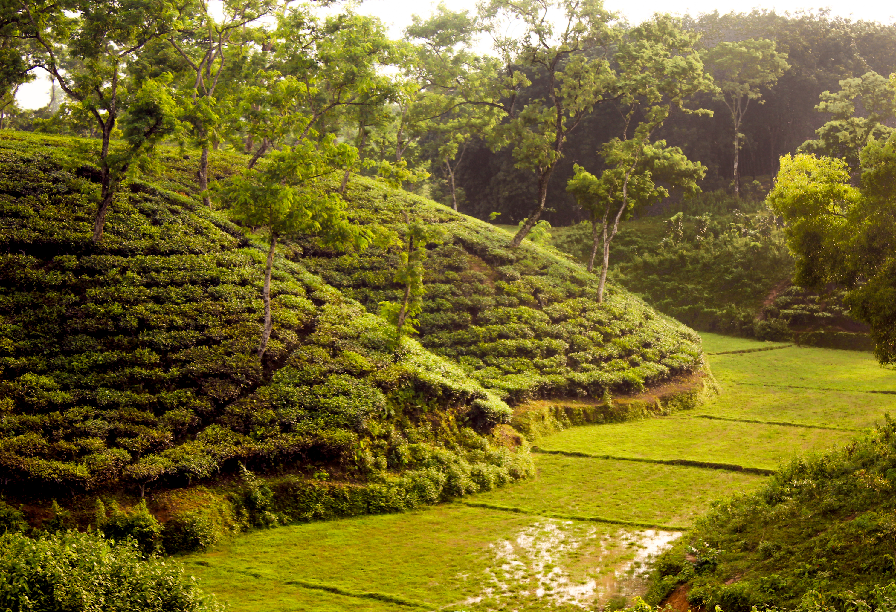 bangladesh tea journal 2012 In 2012, bangladesh recorded its highest production of tea, at 6385 million  kilograms[14] the country has  international journal of educational research.