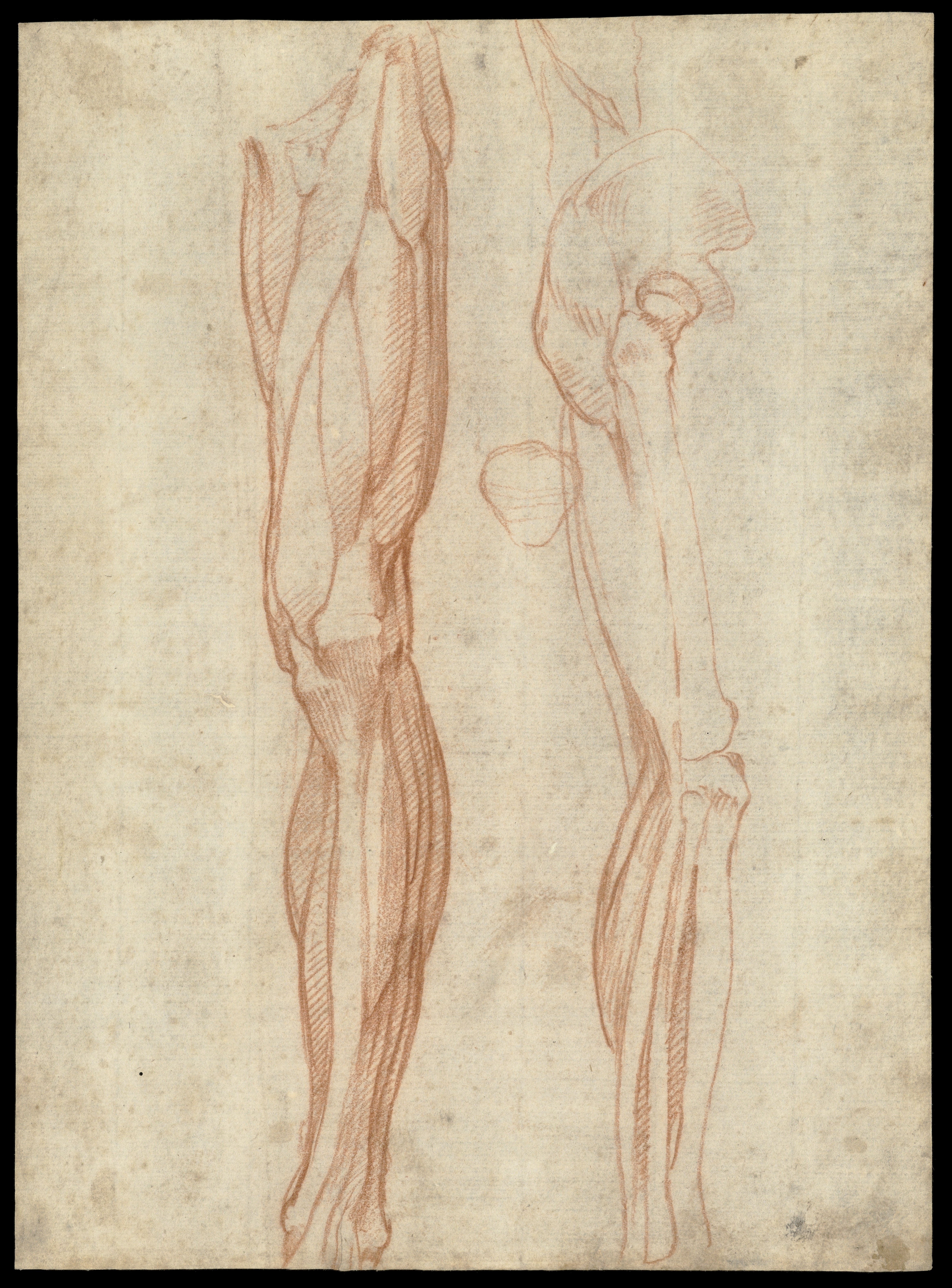 File:The muscles of the left leg, seen from the front... Wellcome ...