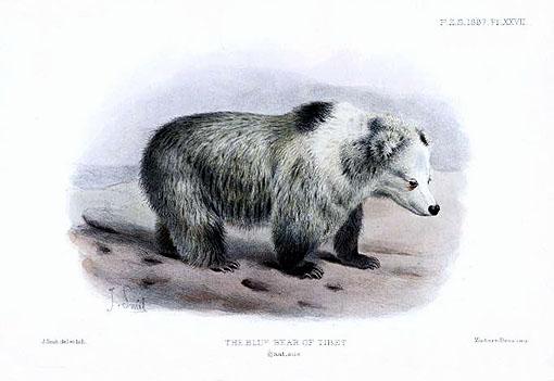 File:Tibetan Blue Bear - Ursus arctos pruinosus - Joseph Smit.jpg