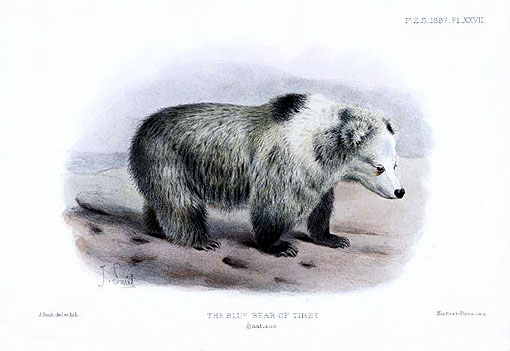 Tibetan Blue Bear - Ursus arctos pruinosus - Joseph Smit