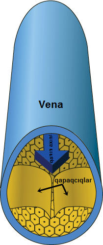 Vein-crosssection-no-text az.jpg