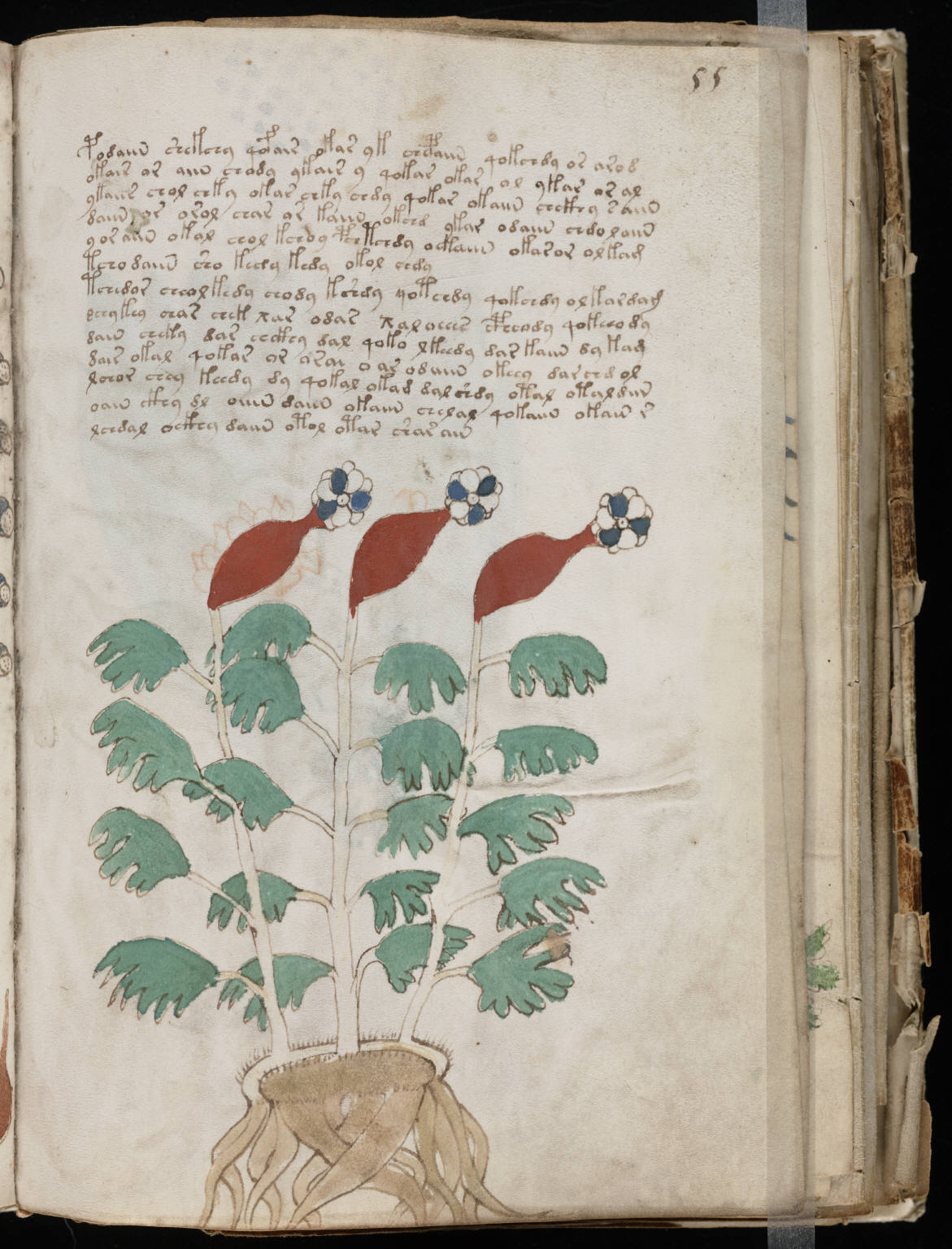 https://upload.wikimedia.org/wikipedia/commons/4/4b/Voynich_Manuscript_%28109%29.jpg
