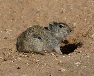The average litter size of a Woosnam's broad-headed mouse is 5