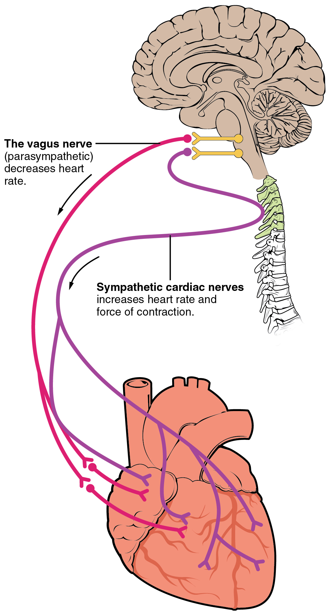Heart rate wikipedia autonomic innervation of the heart cardioaccelerator and cardioinhibitory areas are components of the paired cardiac centers located in the medulla geenschuldenfo Images