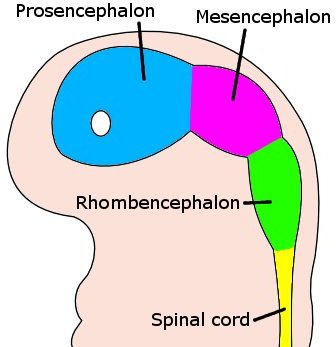 Development of the nervous system in humans | Wiki ...