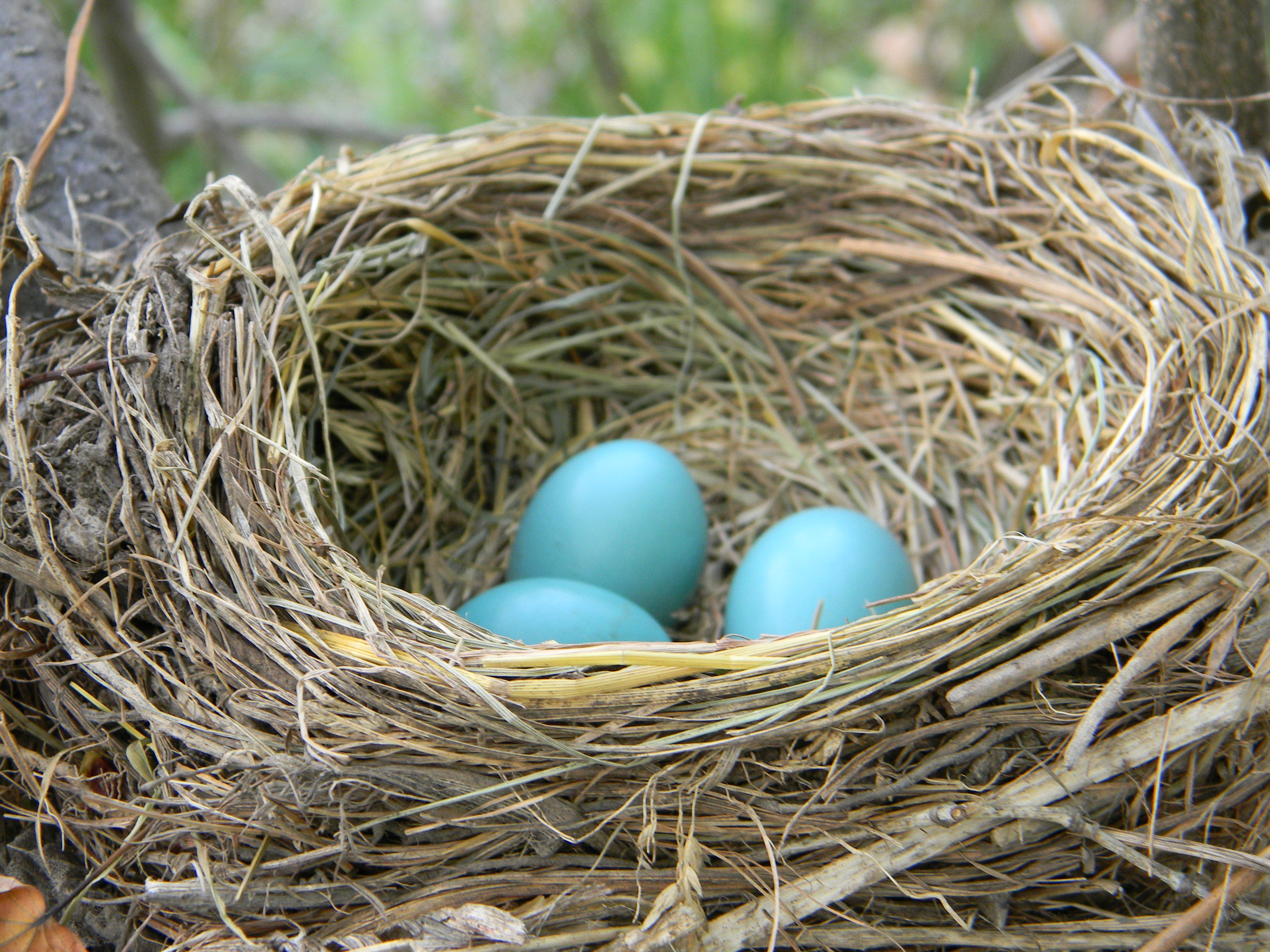 File:American Robin Nest with Eggs.jpg - Wikimedia Commons