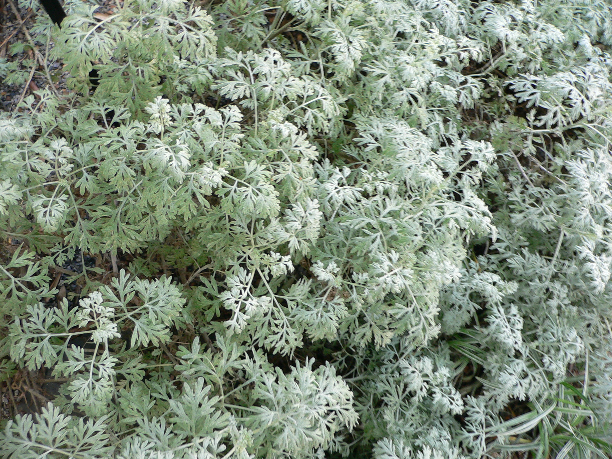 File:Artemisia ...