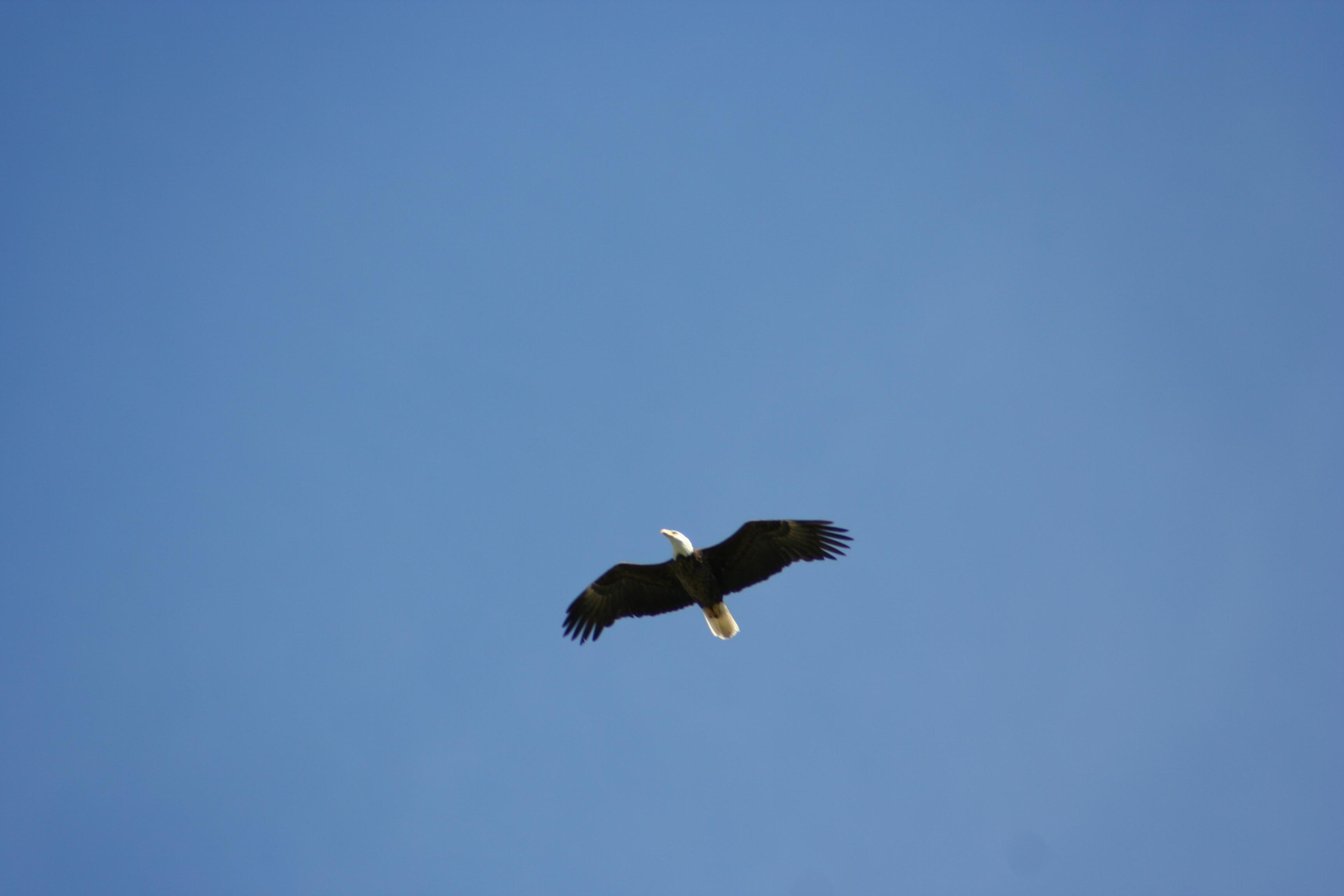 Bald eagles in flight - photo#20