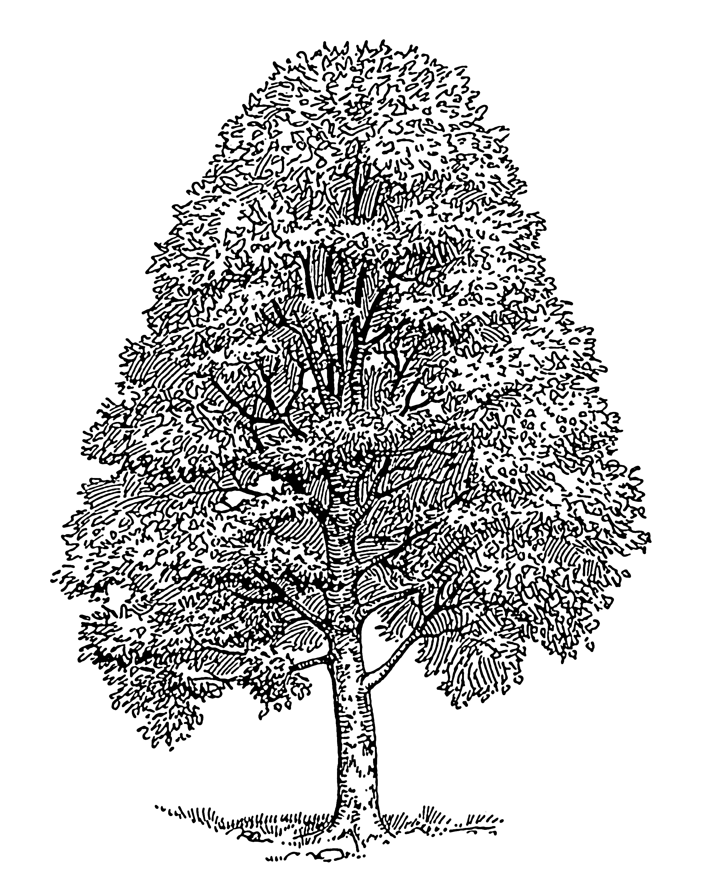 beech tree coloring pages - photo#11