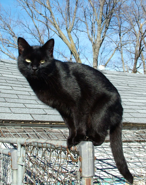 Black cat - Wikipedia, the free encyclopedia