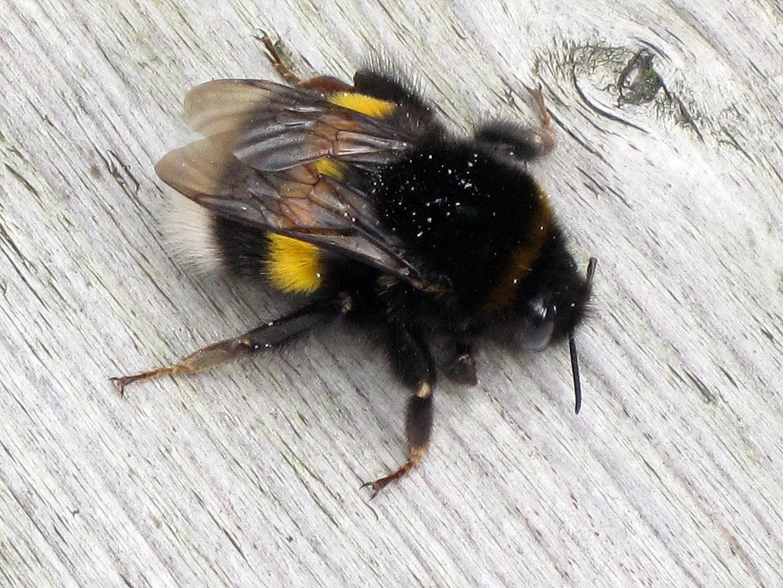 File:Bombus terrestris (Buff-tailed bumblebee) queen, Arnhem, the  Netherlands.jpg - Wikimedia Commons