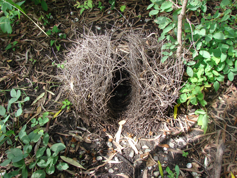 Description Bower bird nest kowanyama.jpg