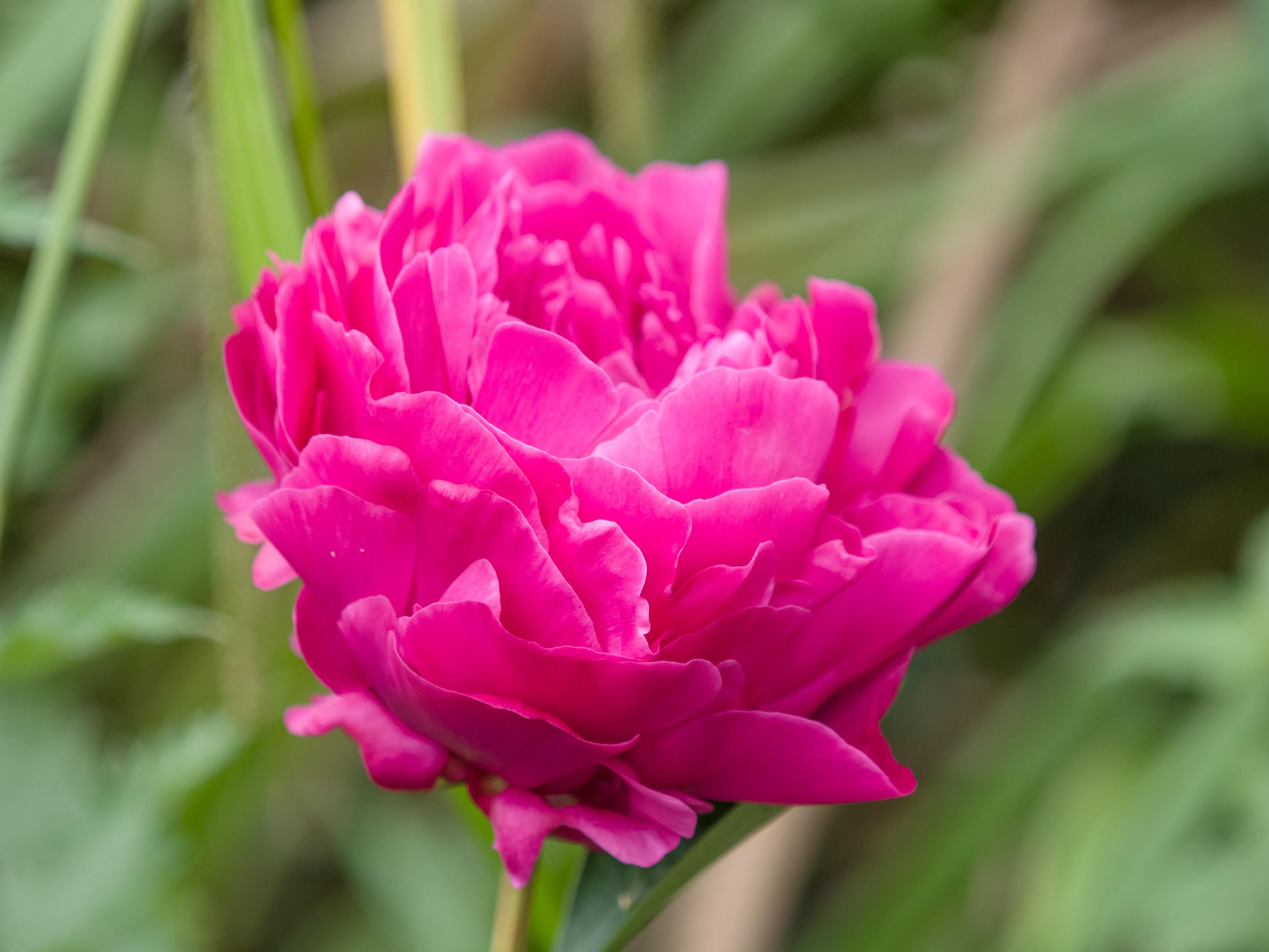 File Bright Pink Flower 14253297107 Jpg