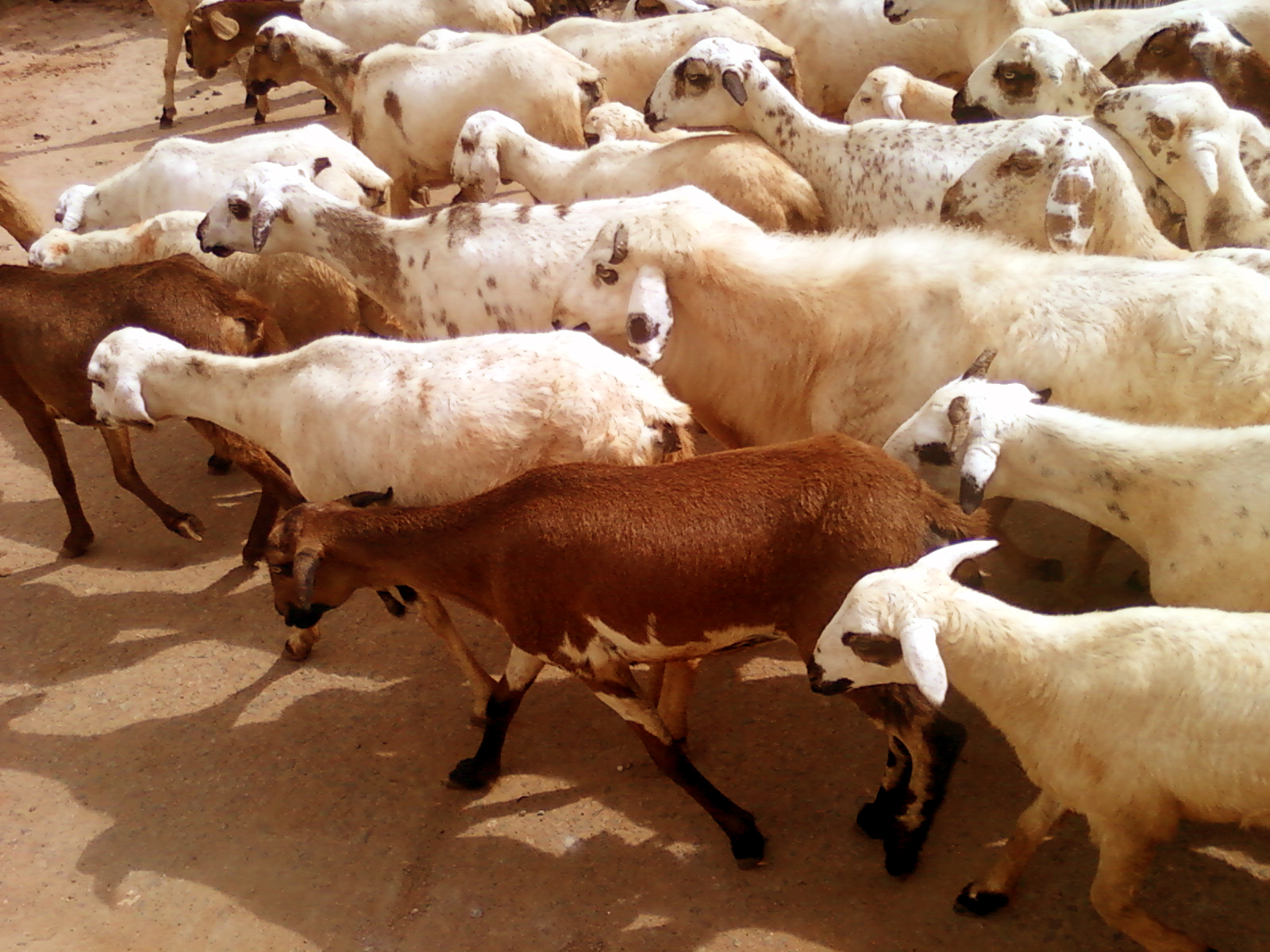 animal husbandry 2 Here are the top 10 college run farms for animal husbandry, with a focus on diversity of animals raised and economic involvement in the local community they are presented by region in no particular order.