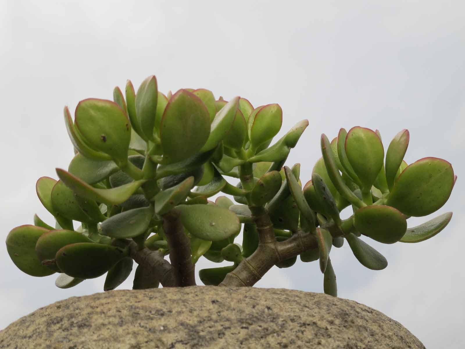 Depiction of Crassulaceae