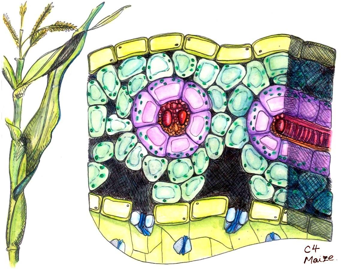 Rice Leaf Drawing c4 Leaf Anatomy[edit