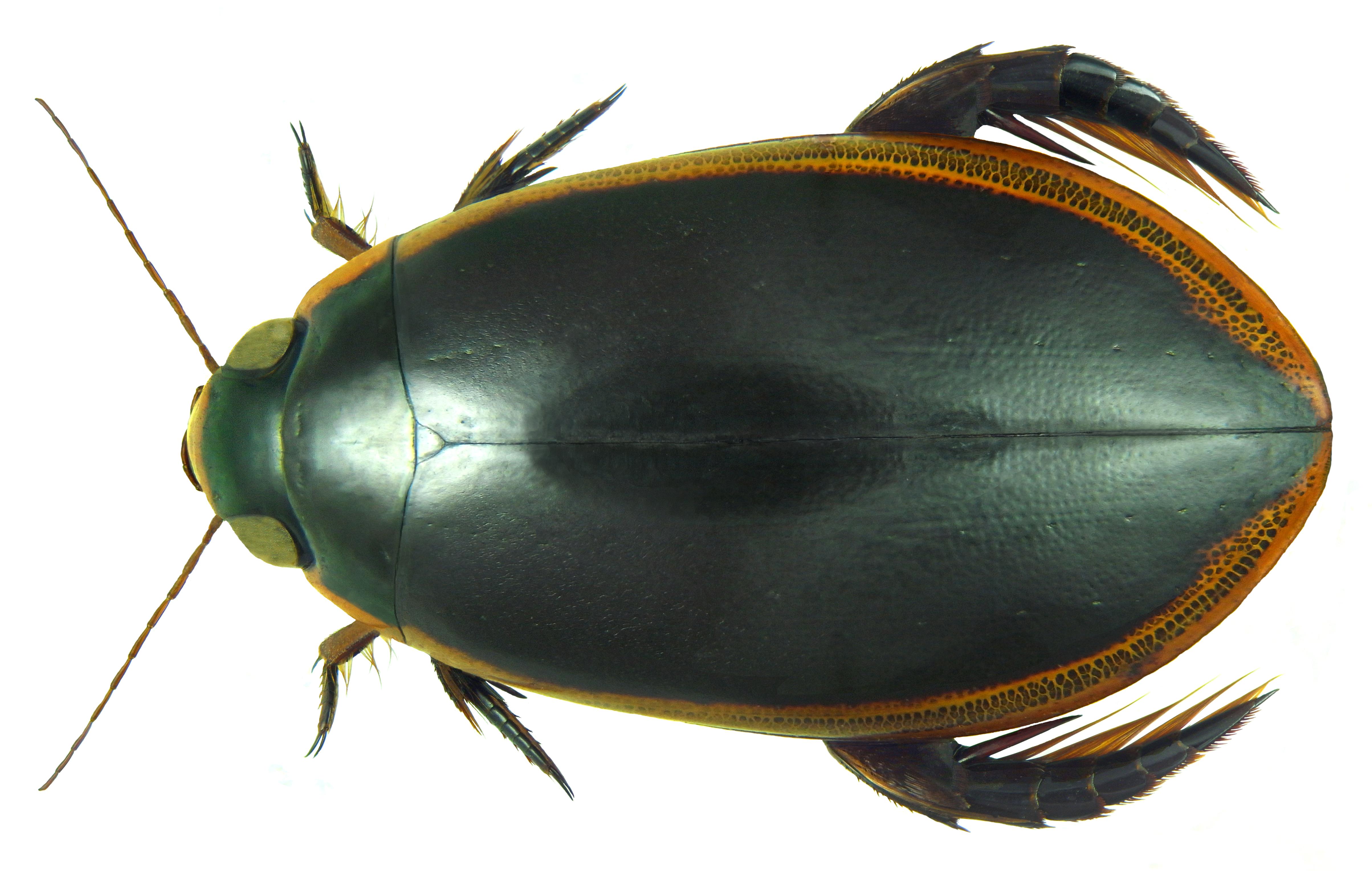 File:Cybister tripunctatus ssp. lateralis (Fabricius, 1798 ...