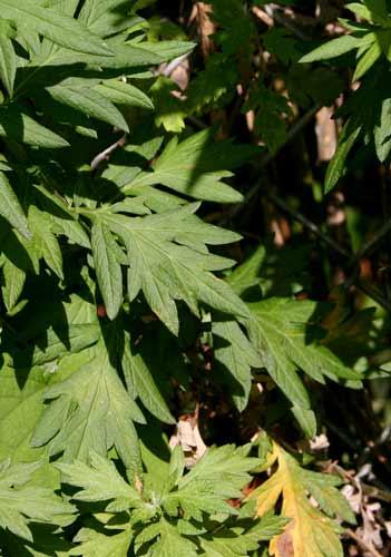 Detail of mugwort mature leaf.jpg