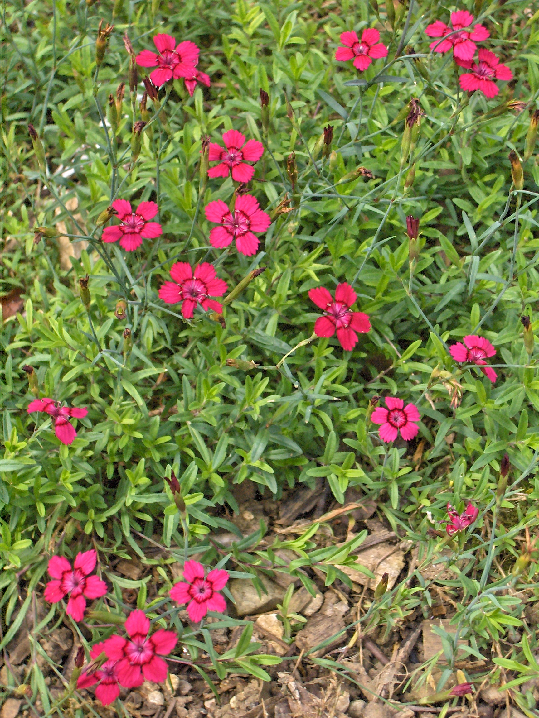 File:Dianthus deltoides Brilliant.JPG - Wikimedia Commons