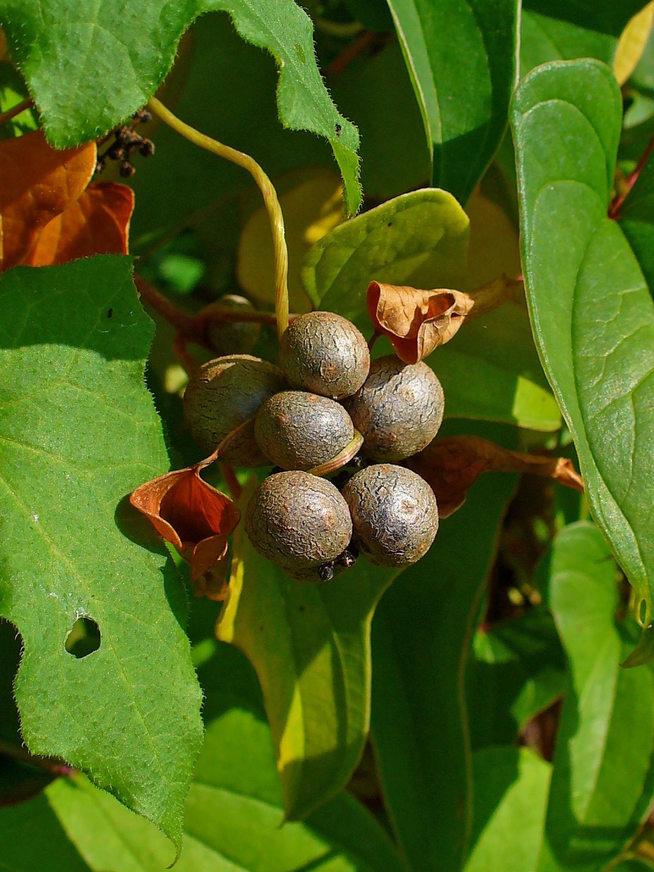 File:Dioscorea polystachya 004.jpg - Wikimedia Commons