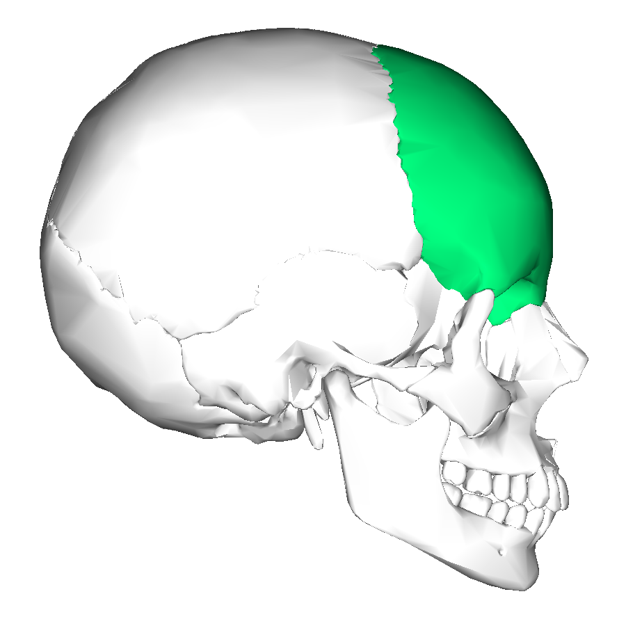 Filefrontal Bone Lateralg Wikimedia Commons