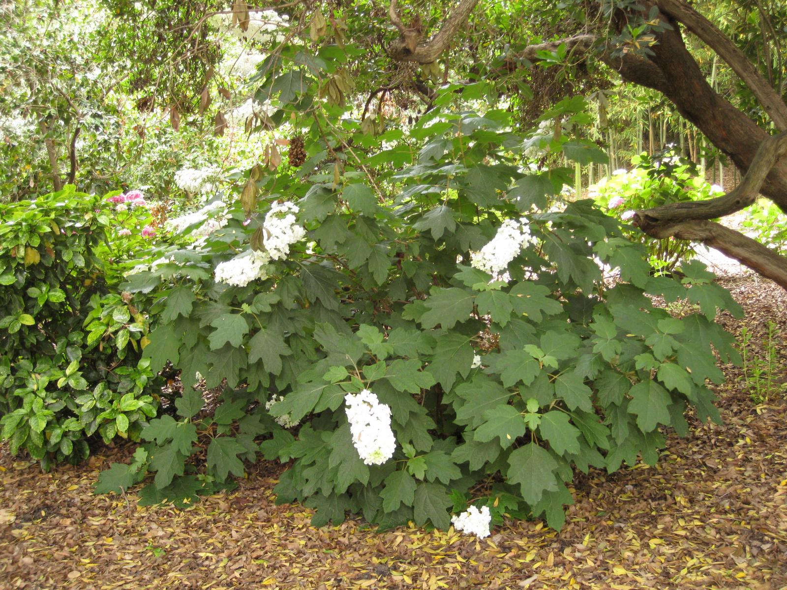 The hydrangea quercifolia, commonly known as oakleaf hydrangea