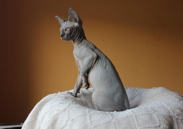 File:Gato-raza-sphynx.JPG