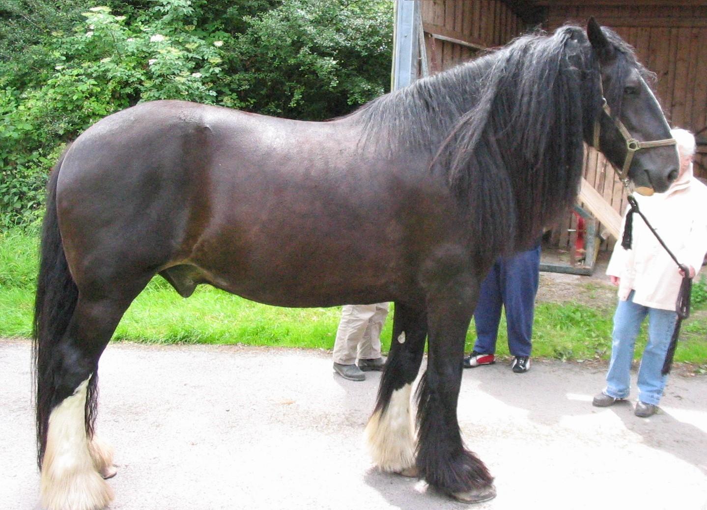 Größte Pferderasse