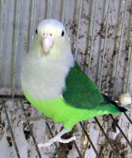 File:Grey-headed Lovebird.jpg - Wikimedia Commons