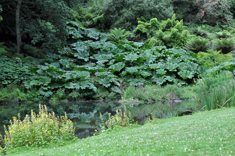 Que Faire Des Fleurs De Rhubarbe gunnera manicata — wikipédia