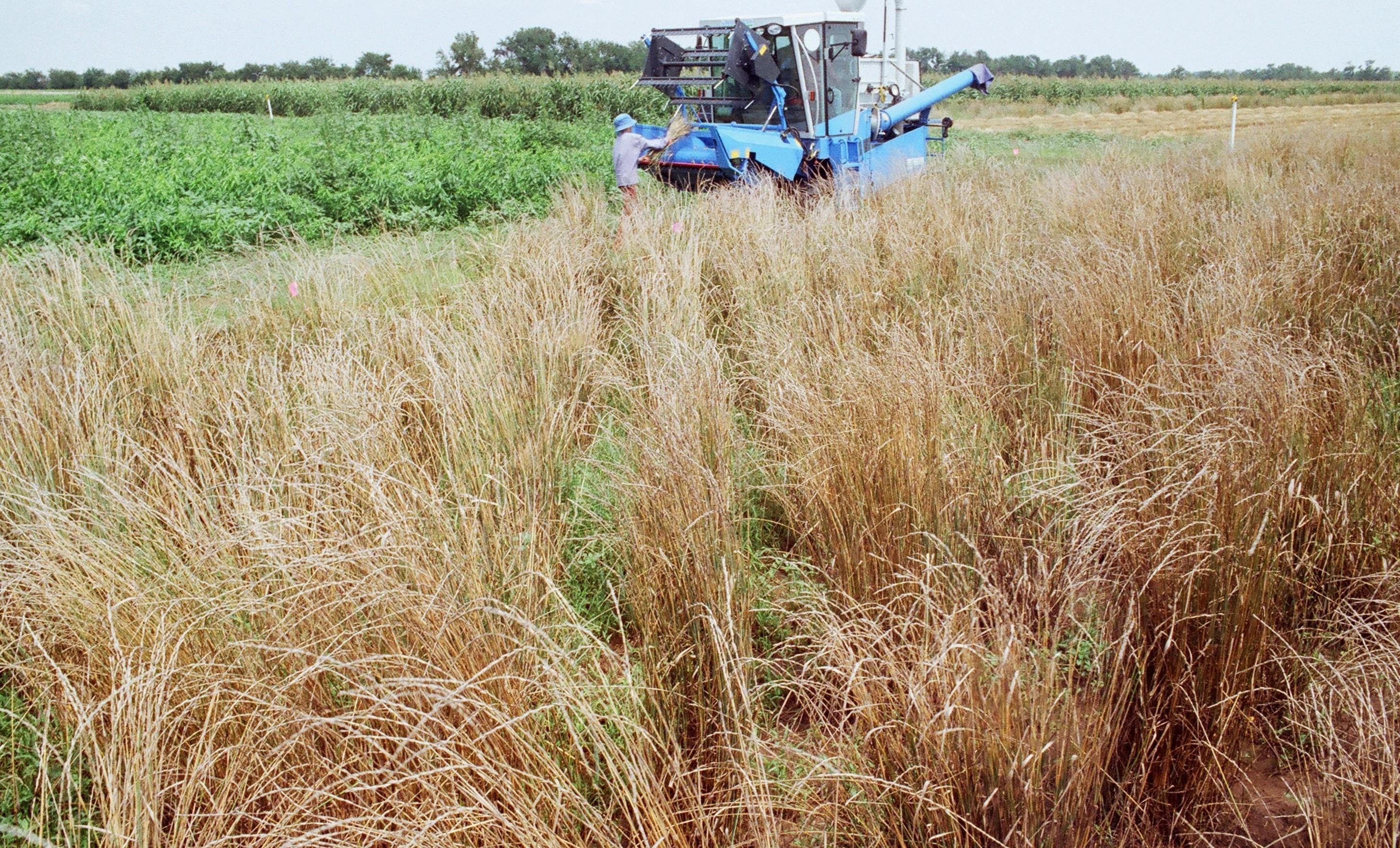 harvesting cycle 2 thinopyrum intermedium.jpg