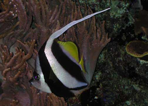 Schooling bannerfish - Wikipedia