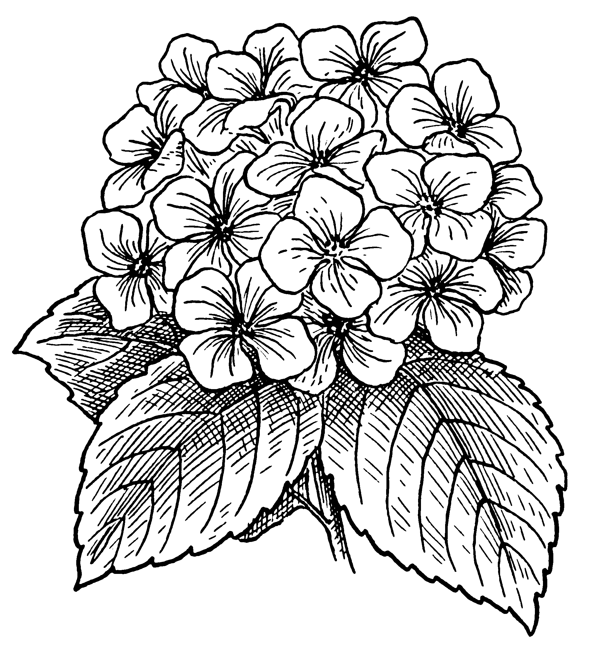 Flower Line Drawing Book : File hydrangea psf wikimedia commons