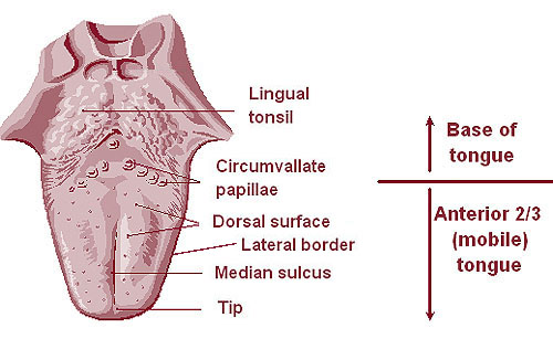 lingual tonsils - wikipedia, Human Body