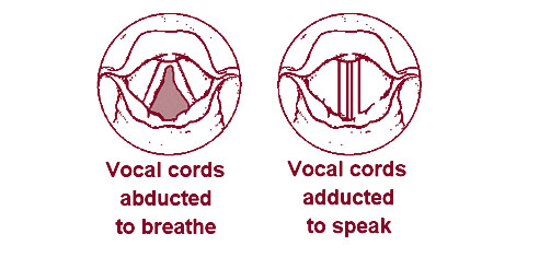 Vocal cords - Wikiwand
