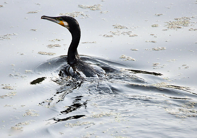 Tập tin:Indian Cormorant I IMG 9718.jpg