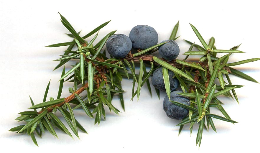 Allergy to pine juniper gin