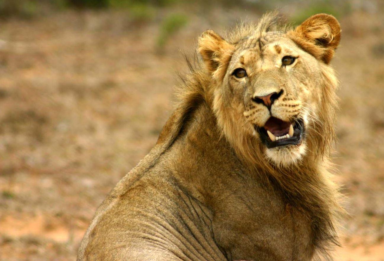 Lion head - photo#10