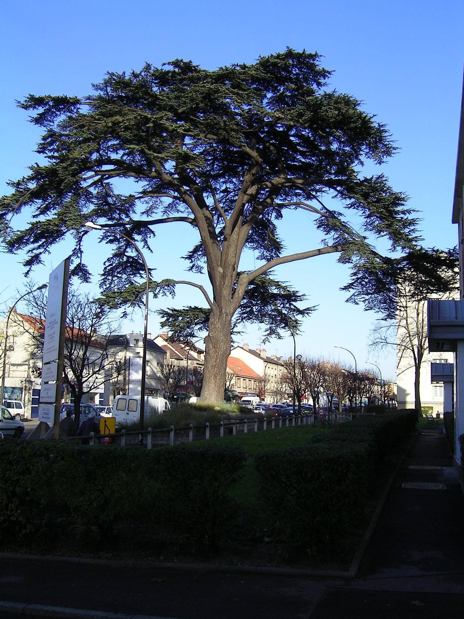 Cmp Livry Gargan à file:livry-gargan le cedre du liban - wikimedia commons