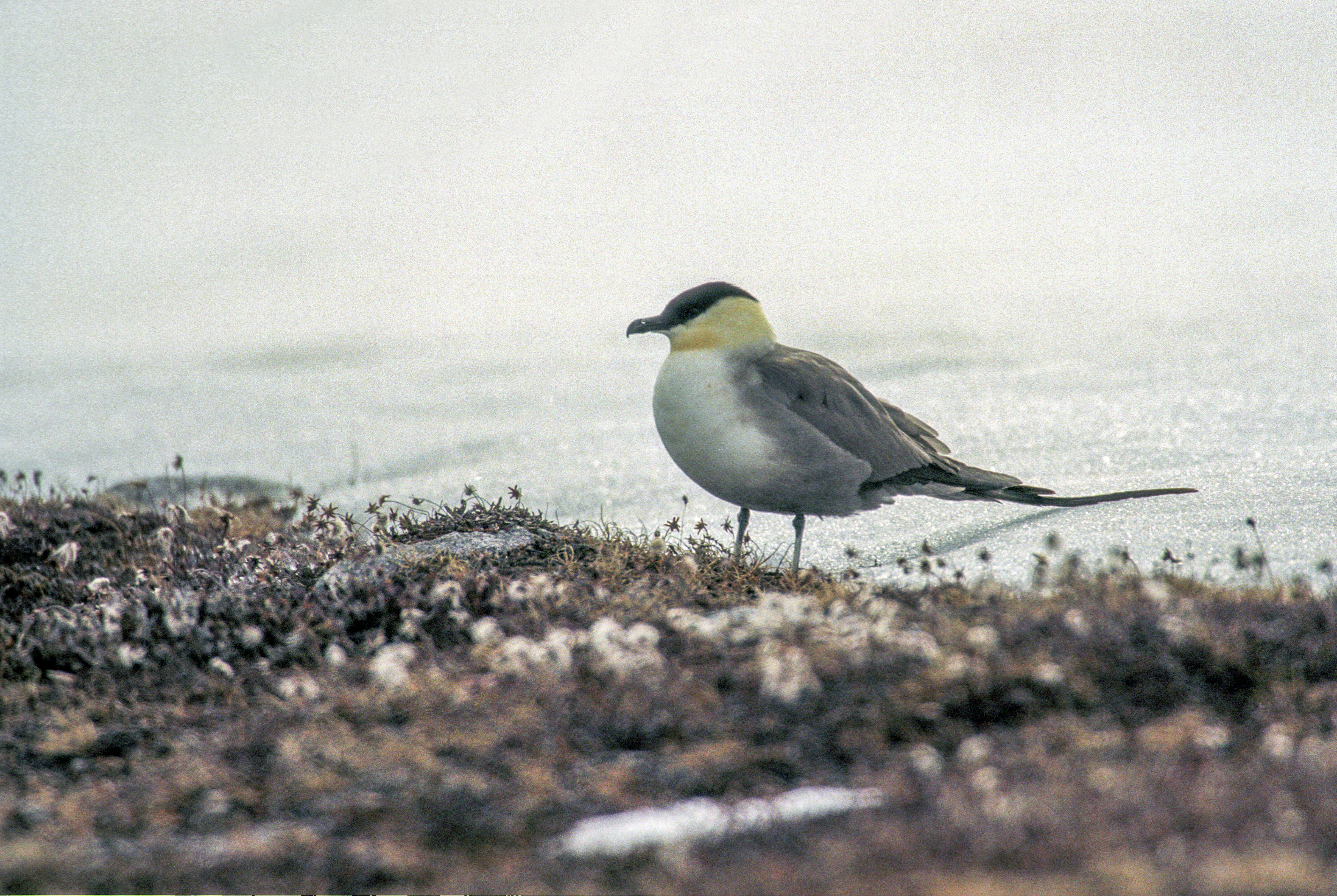 Long Tailed Jaeger Wikipedia