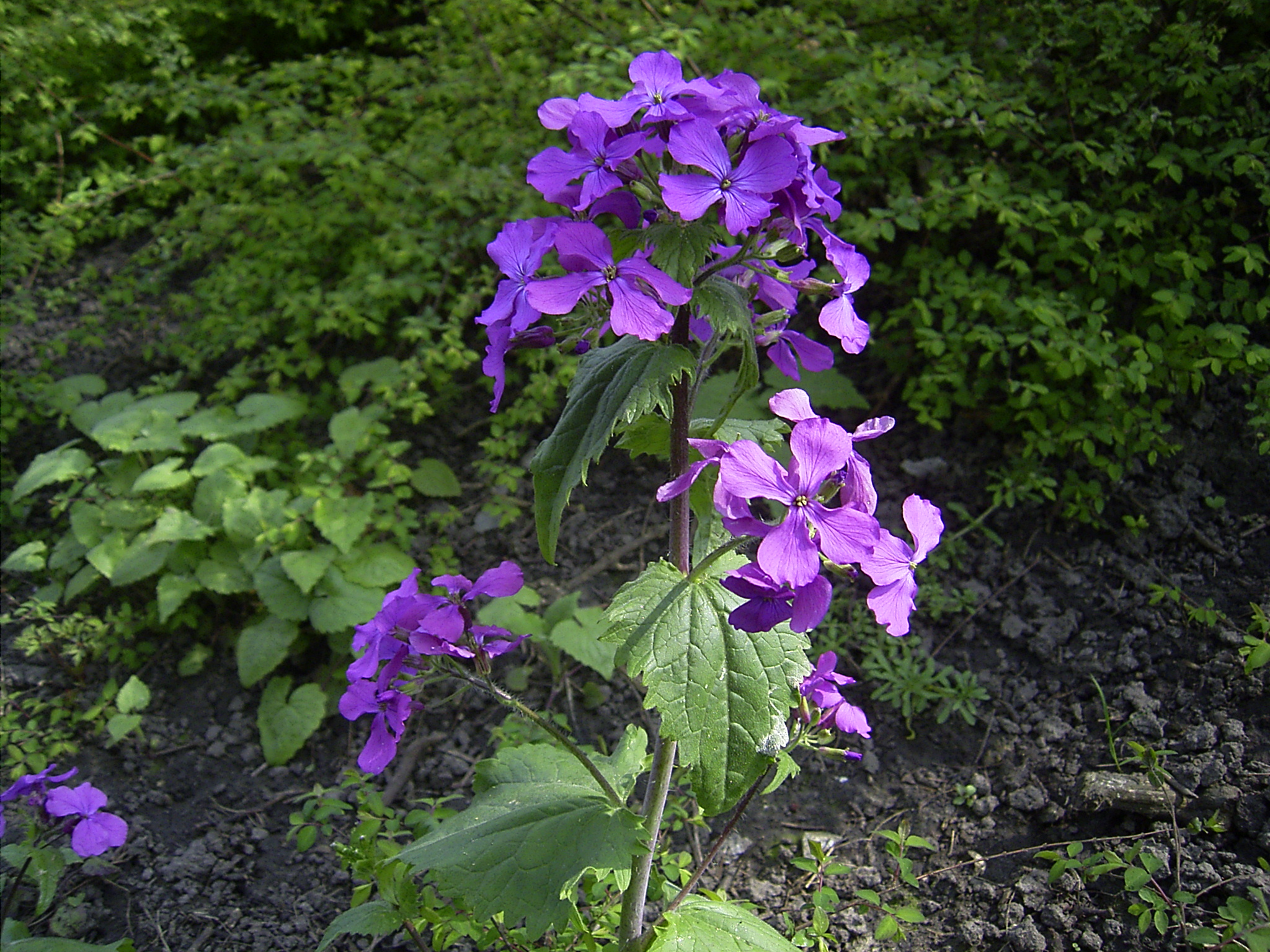 external image Lunaria_annua_flowers.jpg