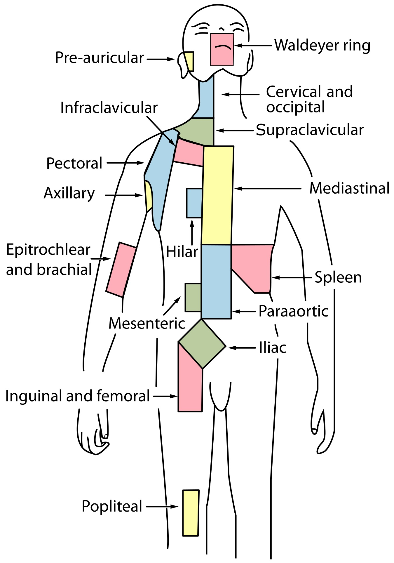 radiation oncology/hodgkin/staging - wikibooks, open books for an, Cephalic vein
