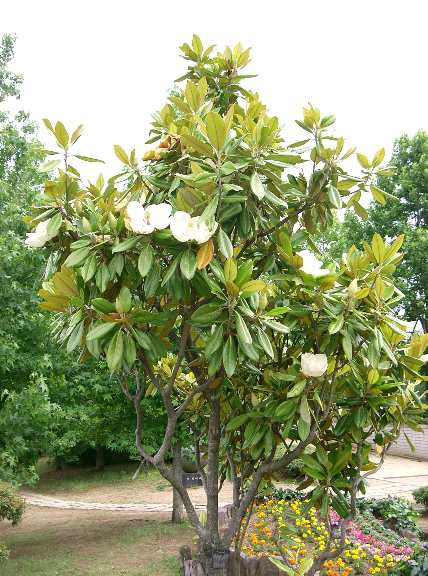 File magnolia - Magnolia grandiflora ...