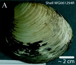 File:Ming clam shell WG061294R.jpg