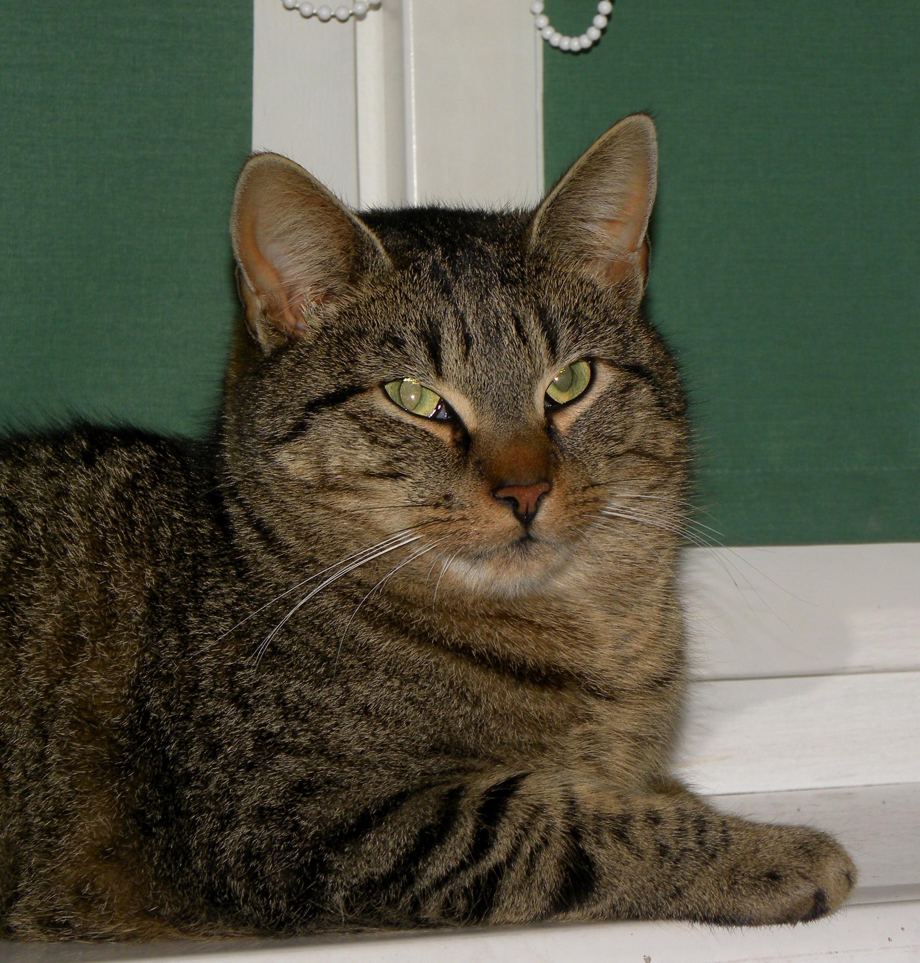 File Mixed breed cat Wikimedia mons