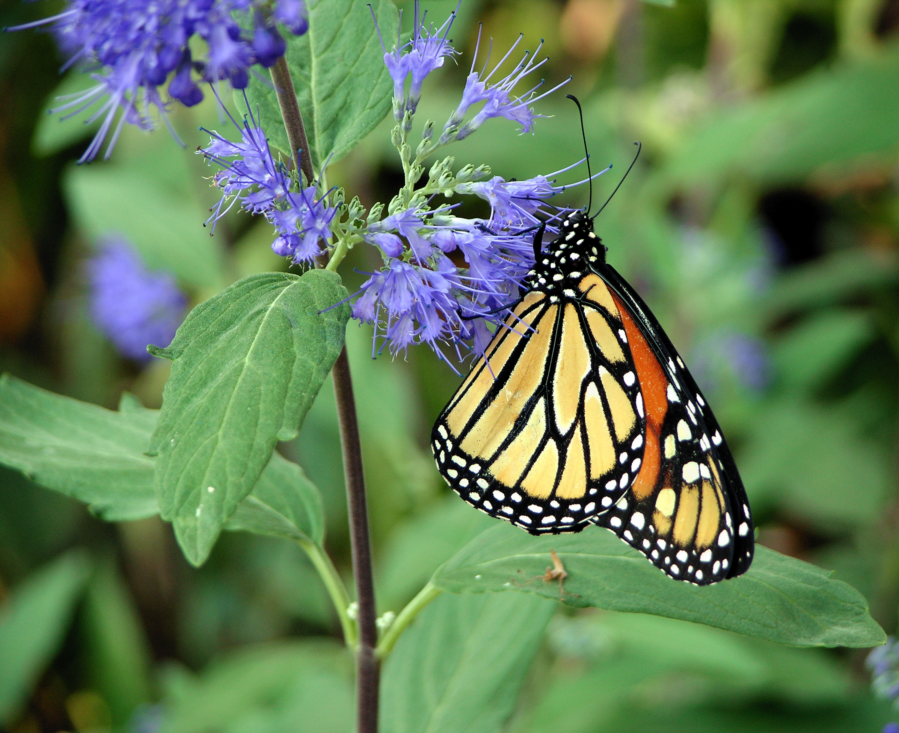 Purple butterfly pictures on flowers for Butterfly on flowers