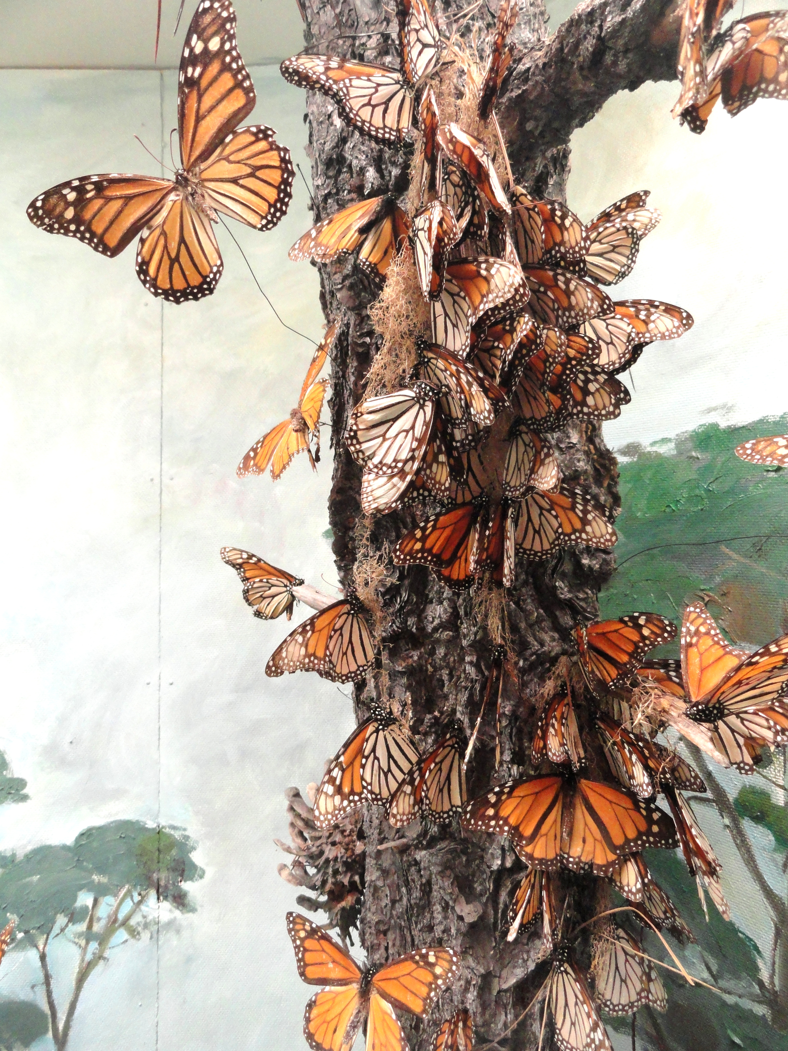 File:Monarch Butterflies   Pacific Grove Museum Of Natural History    DSC06624.JPG
